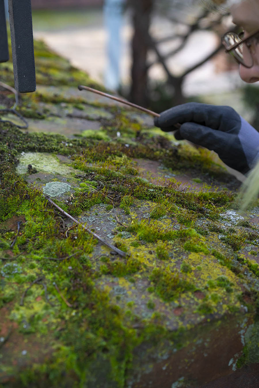 A gardener examines a patch of moss on a wall of Klosterruine