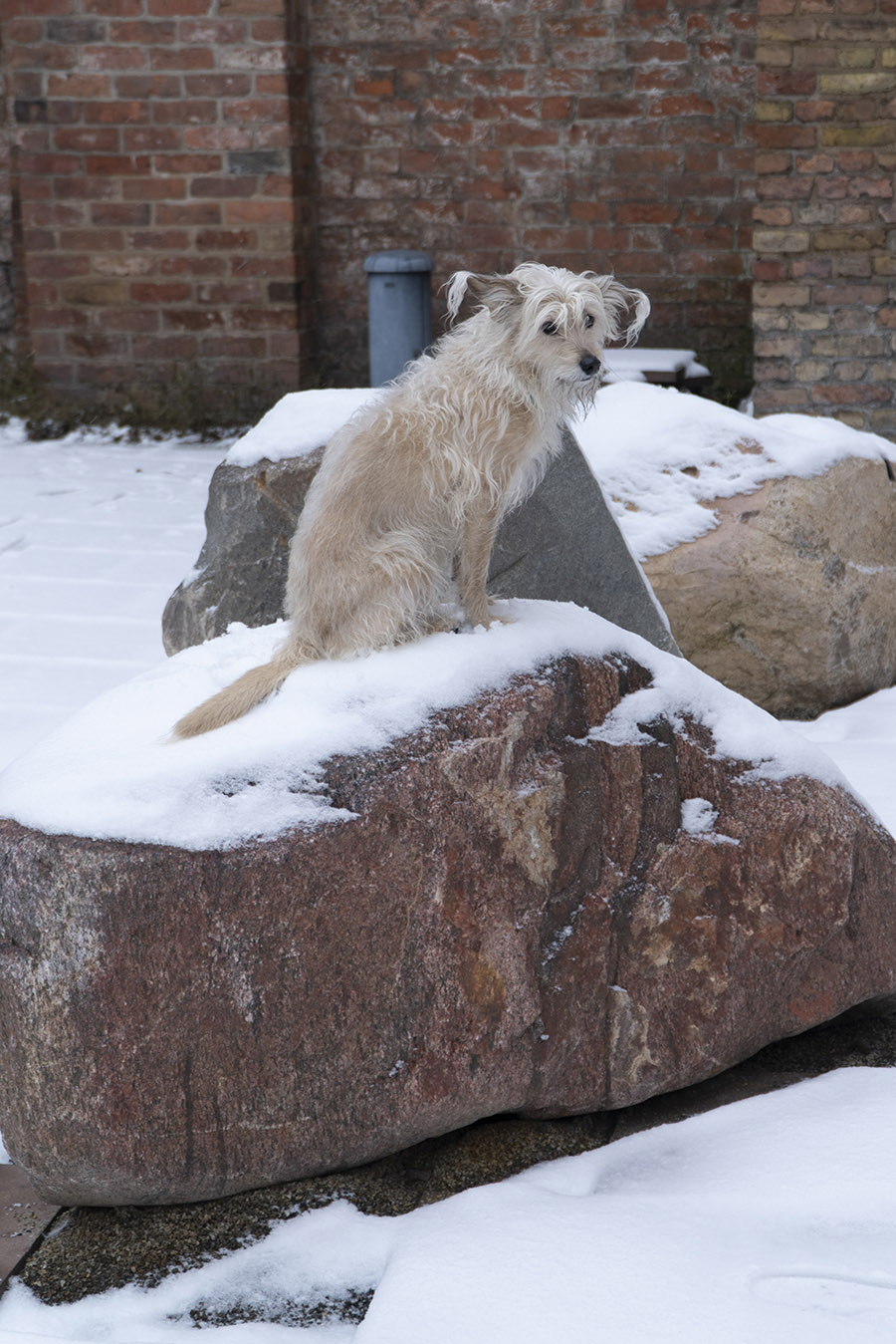 A little dog sits on a snow-covered stone in Klosterruine.